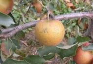 FOT. 10b. Ordzawienia owoców w sezonie 2013