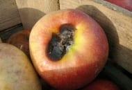 FOT. 3. Sucha zgnilizna przykielichowa  jabłek