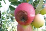 FOT. 5. Jabłko gnijące na drzewie na skutek porażenia szarą pleśnią