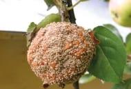 FOT. 6. Jabłko z objawami brunatnej zgnilizny drzew ziarnkowych