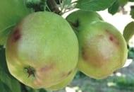 FOT. 1. Uszkodzenia gradowe na owocach