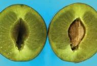 FOT. 11. Szklistość miąższu przechowywanych śliwek