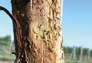 FOT. 9b. Korytarze wydrążone pod korą przez ogłodka owocowca