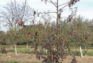 FOT. 4a. Jabłoń porażona przez bakterię Erwinia amylovora