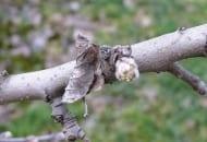 FOT. 6a. Listek przyczepiony do pędu świadczy o miejscu zimowania gąsienicy zwójkówki
