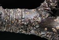FOT. 1. Skorupik jabłoniowy osobniki dorosłe i larwy