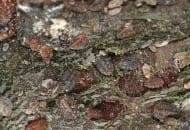 FOT. 3. Larwy misecznika śliwowca