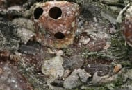 FOT. 4. Spasożytowana samica misecznika śliwowca, a wokół larwy
