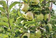 FOT. 2a. Drzewa odmiany 'Gold Pink' w wilanowskim sadzie