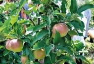 FOT. 3. Owoce odmiany 'Ligolina'