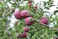 FOT. 5a. Drzewa odmiany RedVelox® w 3. roku wzrostu w wilanowskim sadzie