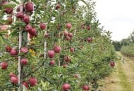FOT. 5b. Drzewa odmiany Red Cap® w 3. roku wzrostu w wilanowskim sadzie