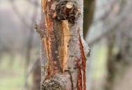 FOT. 1. Zgorzel kory jabłoni
