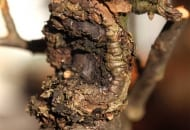 FOT. 3a. Rak drzew owocowych – wytwarzanie tkanki kallusowej to efekt obrony drzewa: na przewodniku