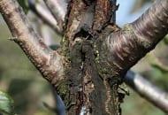 FOT. 13. Rak bakteryjny – gumoza na pękających konarach czereśni