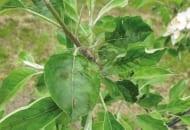 Fot. 2. Parch jabłoni na liściu odmiany 'Gala Must'