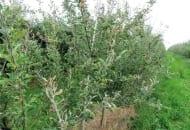 Fot. 3. Mączniak jabłoni – silne porażenie drzew