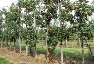 Fot. 3. We Włoszech wiele nowych sadów zakładanych jest z drzewek dwuprzewodnikowych