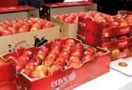 Fot. 4. Spółdzielnia BayWa jest mocno zaangażowana we wprowadzenie na rynek jabłek marki Envy®