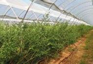 Fot. 5a. W Wielkiej Brytanii przybywa plantacji borówki wysokiej w tunelach: uprawa w glebie