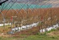 Fot. 5b. W Wielkiej Brytanii przybywa plantacji borówki wysokiej w tunelach:  uprawa w pojemnikach