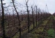 Fot. 1. Drzewa wiśni z właściwie uformowanymi koronami w intensywnym i nawadnianym sadzie