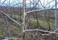 Fot. 4. Pędy wyrastające z przewodnika  odchodzą pod kątem zbliżonym do  prostego   - ważne dla trwałości konstrukcji korony  w przyszłości