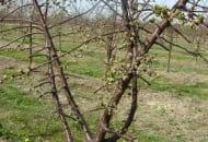 2-2011-Fot.5b.Przyklady-zle-prowadzonych-drzew.jpg