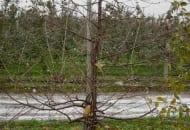 Fot. 9. Niektórzy przywiązują drzewka wiśni do  palików