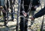 2-2012-ciecie-drzew-ziarnkowych-zima-3.jpg
