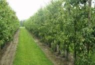 2-2012-ciecie-drzew-ziarnkowych-zima-4.jpg