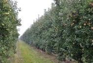 FOT. 2. Jedna z kwater jabłoni, na której zamiast standardowego nawożenia wapniem, zastosowano nawozy Herbagreen, NaturalCrop SL i EmFarma Plus