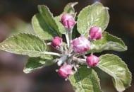 FOT. 4. Różowy pąk