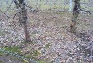 FOT. 3. Na przełomie lutego i marca można opryskać mocznikiem liście pod jabłoniami, jeżeli nie były opryskane jesienią na drzewach i nie przykrywa ich śnieg