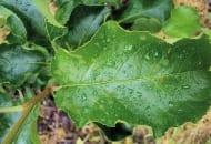 FOT. 4. Świeże plamy parcha jabłoni na liściach są okazją do zbadania czy nie wystąpił problem odporności parcha na którąś z grup chemicznych