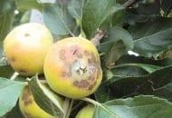 FOT. 6. W doborze fungicydów do ochrony przed parchem jabłoni należy uwzględniać ich skuteczność w ochronie zawiązków