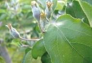 FOT. 2. Imago owocnicy jabłkowe