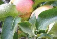 FOT. 3b. Uszkodzenia na owocu przed dojrzeniem
