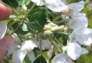 FOT. 5. Niezwalczone w odpowiednim czasie zwójkówki liściowe uszkadzają kwiaty