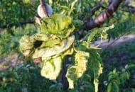 FOT. 11. Kędzierzawość liści brzoskwini