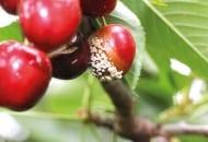 FOT. 5b. Objawy brunatnej zgnilizny owoców na czereśni