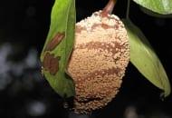 FOT. 5c. Objawy brunatnej zgnilizny owoców na gruszce