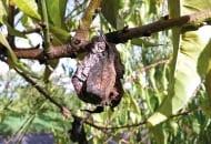 FOT. 6. Brzoskwinia porażona brunatną zgnilizną przekształcająca się w mumię