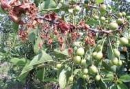 FOT. 7. Brunatna zgnilizna drzew pestkowych na pędach wiśni
