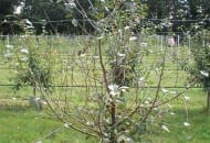 FOT. 9. …i wczesna defoliacja drzew porażonych tą chorobą