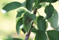 FOT. 3a. Objawy parcha jabłoni w czerwcu 2014 r. na liściach