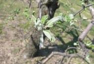 FOT. 4. Objawy mączniaka jabłoni na rozwijającym się kwiatostanie