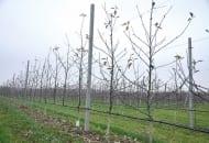 FOT. 2. Drzewka posadzone wiosną 2014 r. cięte na klik, przed cięciem mechanicznym