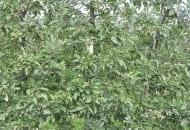 FOT. 6.b Drzewa jabłoni po cięciu