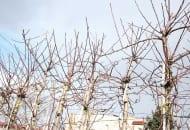 FOT. 7. Drzewa odmiany 'Šampion' cięte mechanicznie wymagają ręcznej korekty szczególnie w części wierzchołkowej